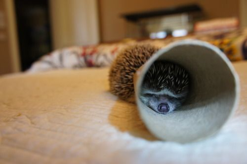 This looks like my hedgie: Art Hedgehogs, Squish Hedgehogs, Hedgi Stuck, Hedgehogs Hedgehogs, Amin Baby, Furry Things, Hedges Hog, Cones, Adorable Animal
