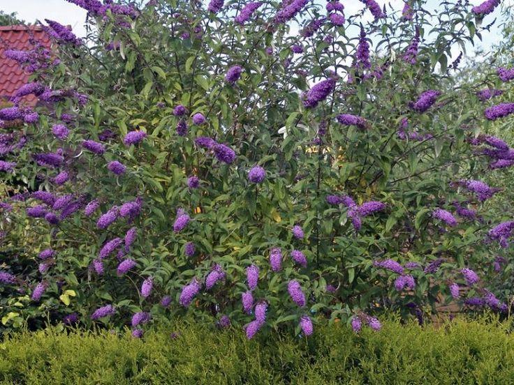 Vlinderstruik - Kwekerij de Koekoek