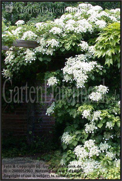 Kletterhortensie Hydrangea petiolaris Kletterhortensie (Hydrangea petiolaris) an Pergola: Wuchsform (Habitus).