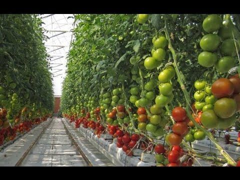 HydroponicsTomato Farming - Agriculture Technology: Hydroponic lettuce system - YouTube #hydroponicslettuce