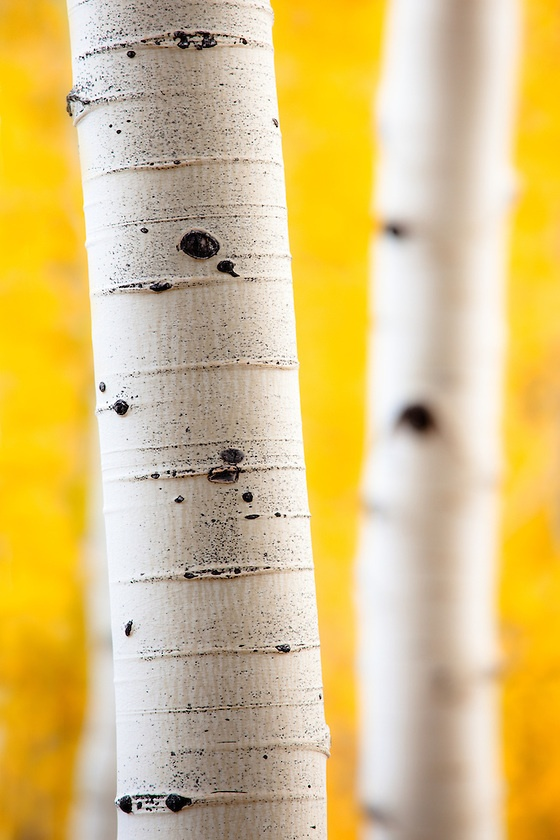 Aspen trees in fall color near Crested Butte, Colorado.  love weeping  birch trees     the shredding  bark is  so beautiful