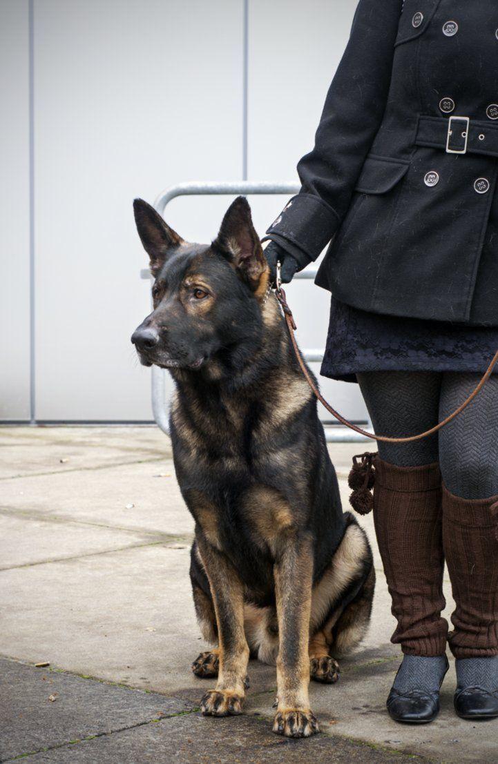 DDR x Czech German Shepherd Dog by petrichore