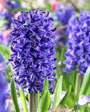 best 25 hyacinth flowers ideas on pinterest paper flowers diy diy flower and diy paper crafts