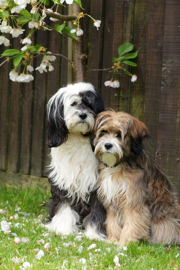 We're getting a Tibetan Terrier puppy like these cuties in a few weeks and I can't wait!