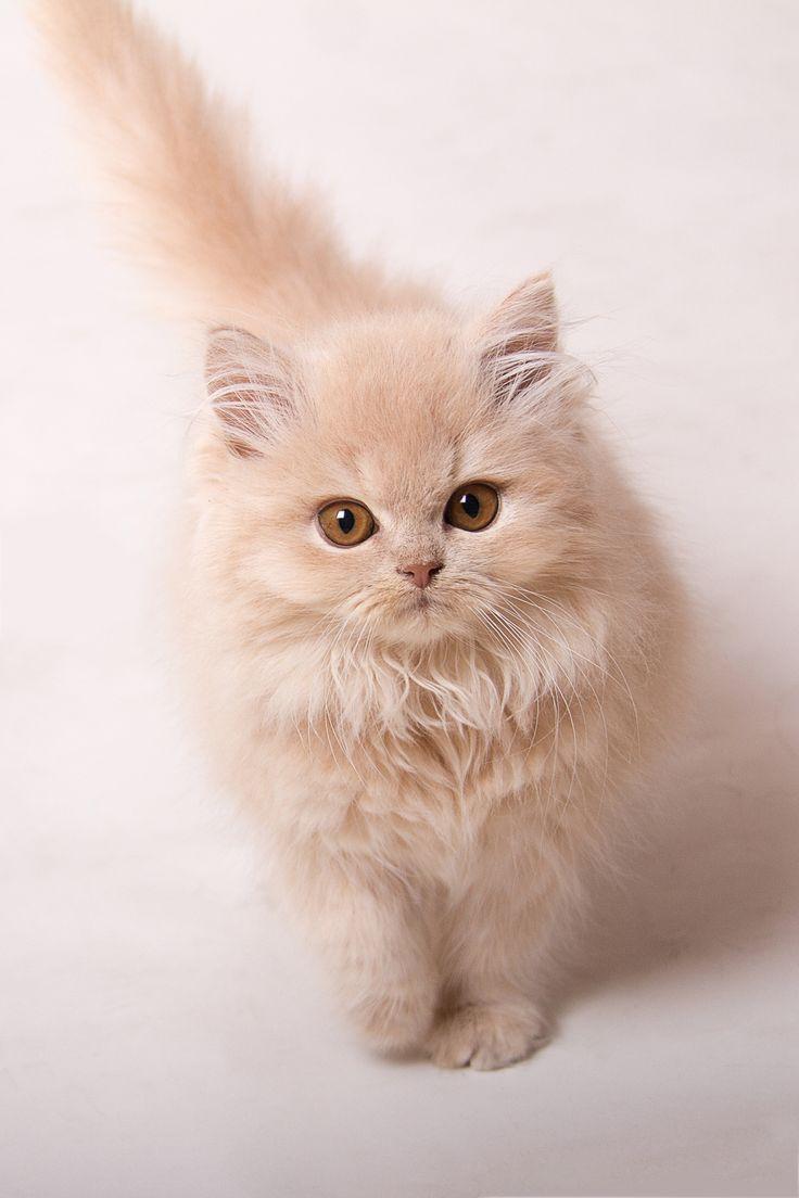 British longhair cat white