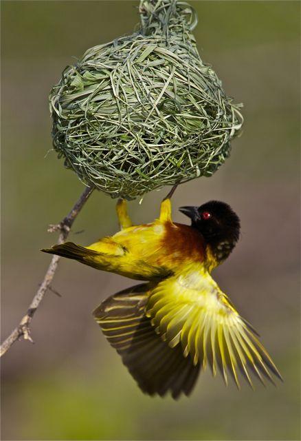 Golden-Backed Weaver, South Africa