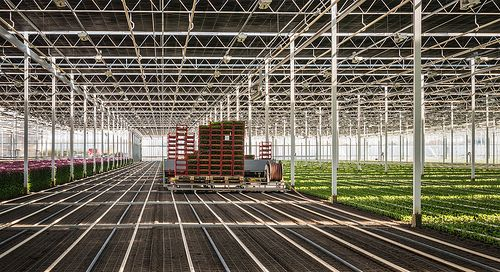 Fully automatic transplanter in a greenhouse - Volautomatische plantmachine in glastuinbouw