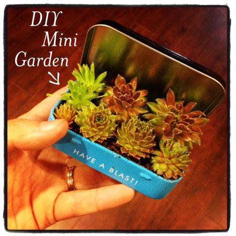Mint Tin Garden: Succulents Garden, Altoid Box, Mini Gardens, Diy Mini, Altoid Tins