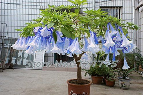 Angel Trumpet - Brugmansia, are hardy, vigorous plants, producing large, fragrant, pendent, trumpet shaped flowers 6 - 10 inches long. [LEARN MORE] #fal #spr #sum