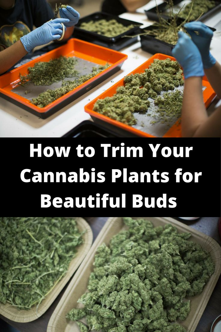 How to Trim Your Cannabis Plants for Beautiful Buds