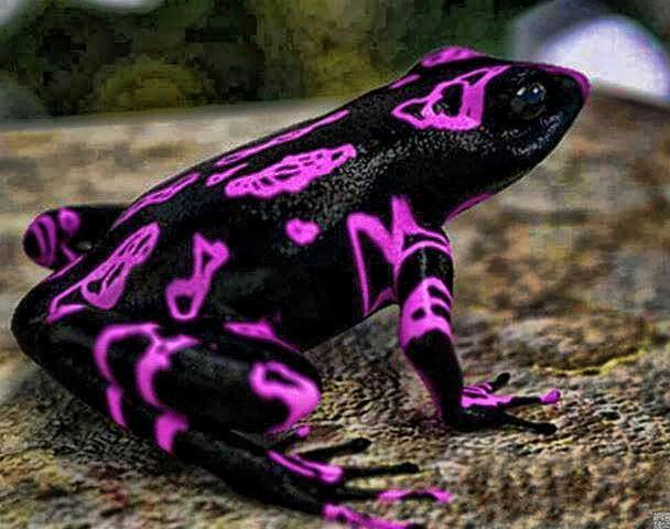 Atelopus frog poisonous - photo#2