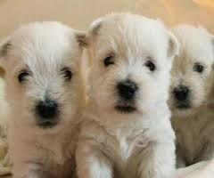 Картинки по запросу вест хайленд уайт терьер щенки