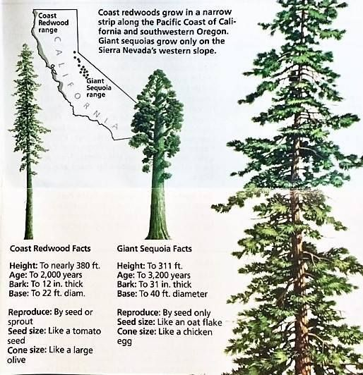 """typhlonectes: """" What's the difference between Coast Redwood and Giant Sequoia trees? """" Redwoods (Sequoia sempervirens) grow taller, thrive in moderate climates, and need lots of moisture (think: rain and fog). They grow within 30 miles of the coast..."""