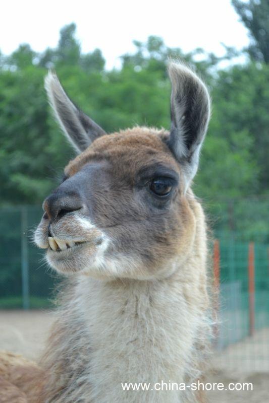 llama face!!
