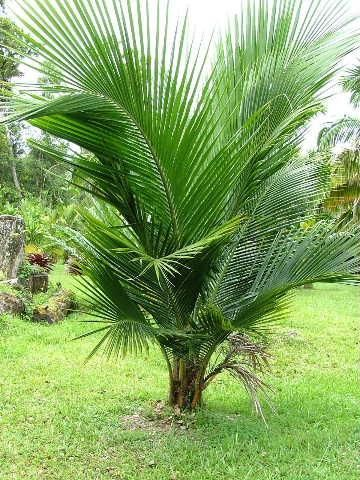 Tipos De Palmas | Tipos de palmeras. Hojas pinnadas y sin capitel