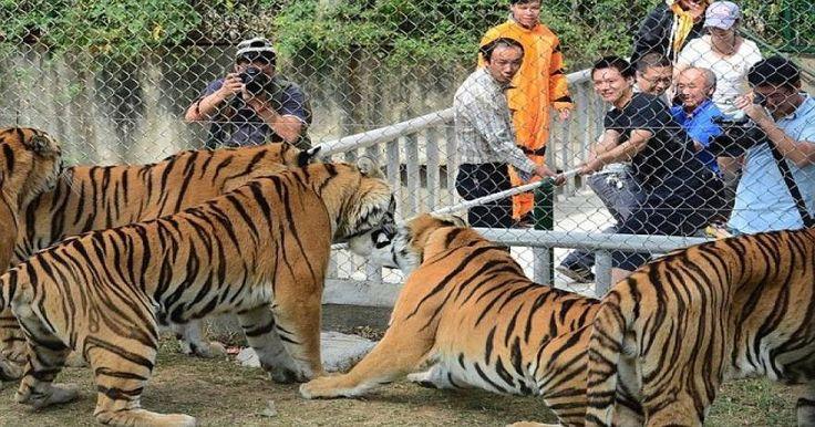 Κίνα: Τσακώθηκε με τον άνδρα της και την κατασπάραξαν οι τίγρεις [φωτό]