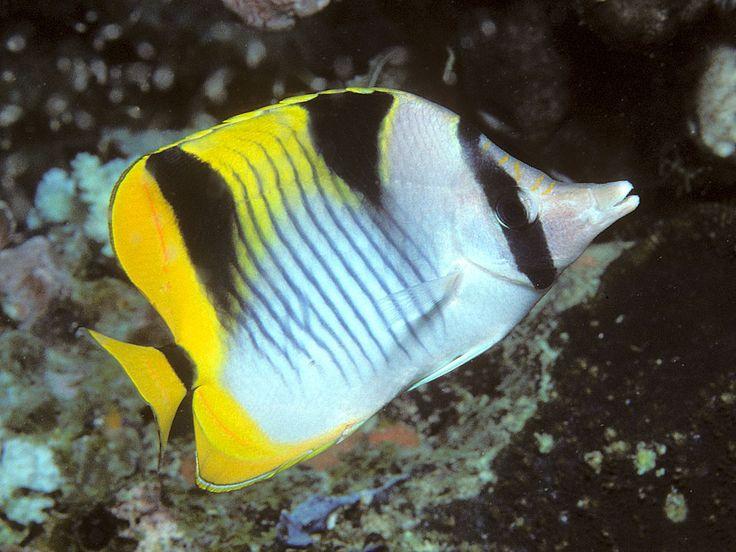 Saddle-back Butterflyfish (Chaetodon falcula), Indian Ocean