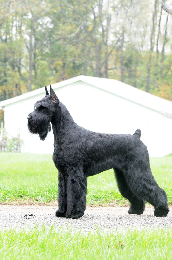 Official AKC Standard for the Giant Schnauzer : Kenro Kennel