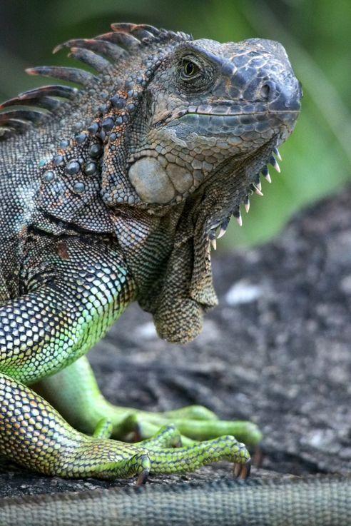 Iguane à Kekoldi (Costa Rica)