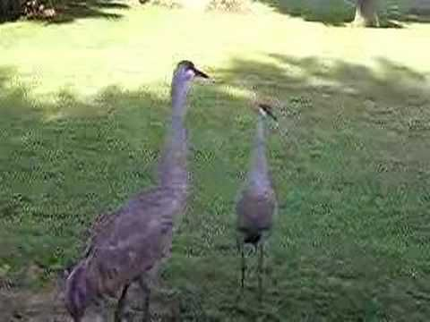 Sand Hill Crane Dance - YouTube