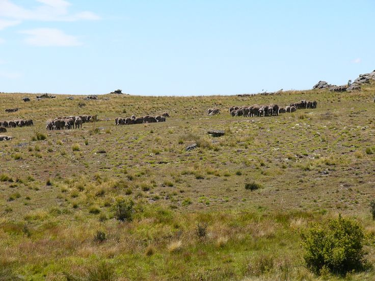 Merino sheep grouped together in their social circles. Its a peculiar thing these high country sheep do
