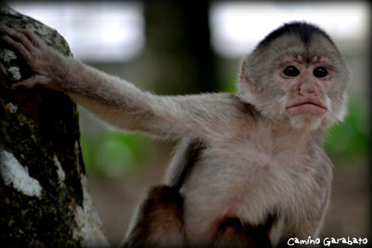 Monos capuchinos en Puerto Misahuallí, Ecuador