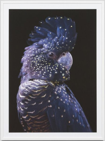 See what our Padders love: Black cockatoo framed print. Dimensions: 85cm W x 115cm H This photographic print will make a statement in any modern space. This print is part of the Warranbr http://ift.tt/20P5xWP