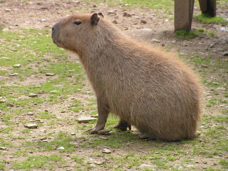kapybara - největší žijící hlodavec, žije vždy v blízkosty vody