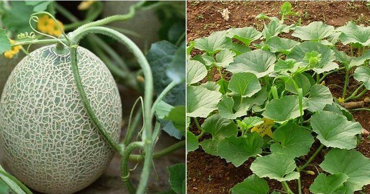 Si el cultivo de melón es tu próximo huerto-objetivo, apunta los consejos de LA…