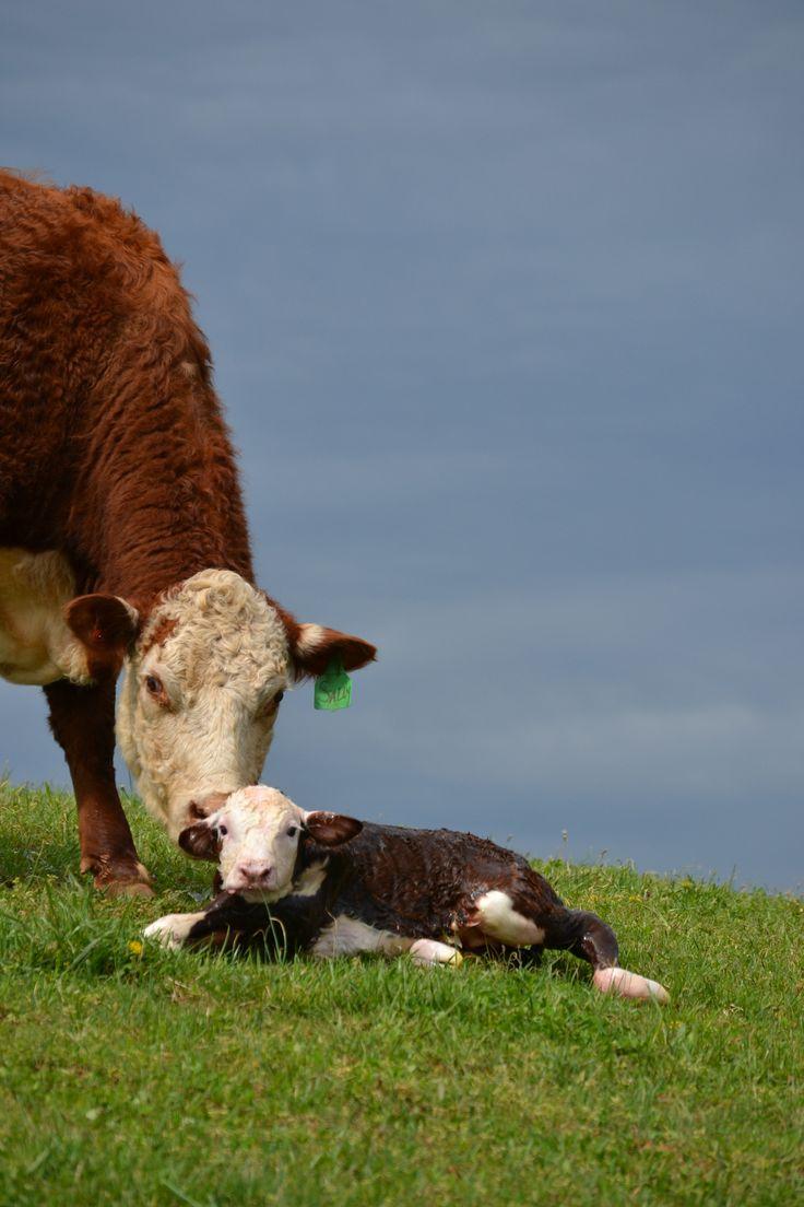 Love calving season!