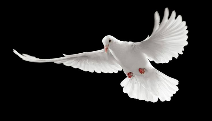 Flying White Pigeons Black Background HD Wallpapers Images Backgrounds Photos Pictures