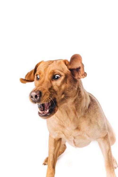 Finja  #Pfotentick #Schappschuss #Hundefotografie #Studio #Shooting #Finja #labrador #dog #photography