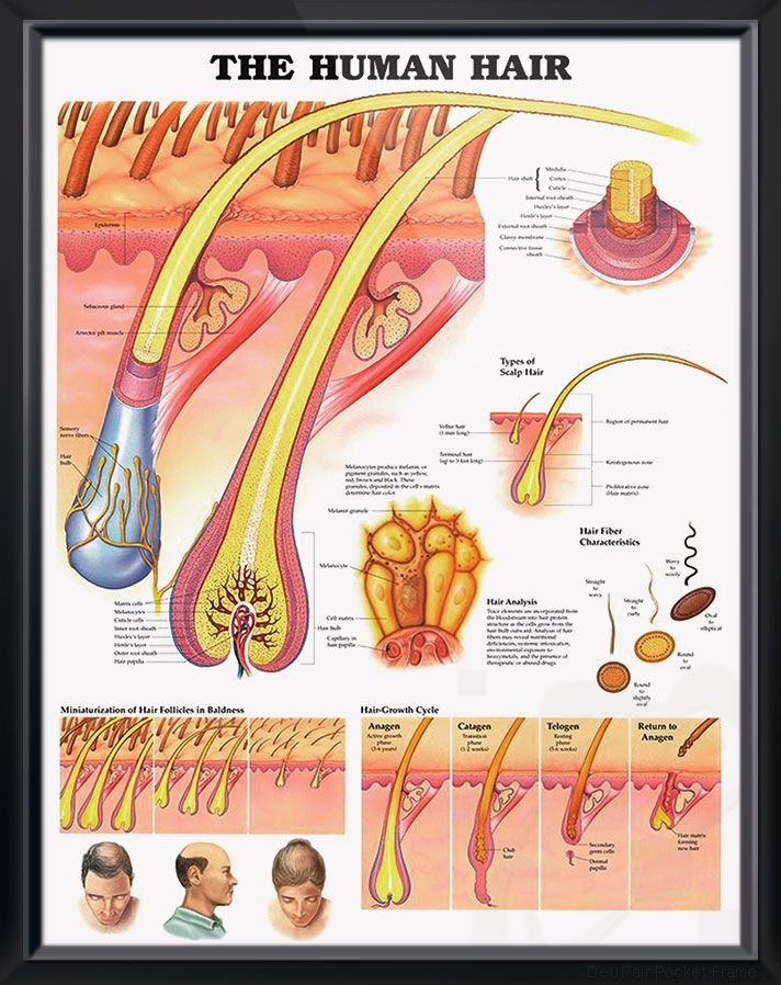 the human hair anatomy poster shows detailed anatomical. Black Bedroom Furniture Sets. Home Design Ideas