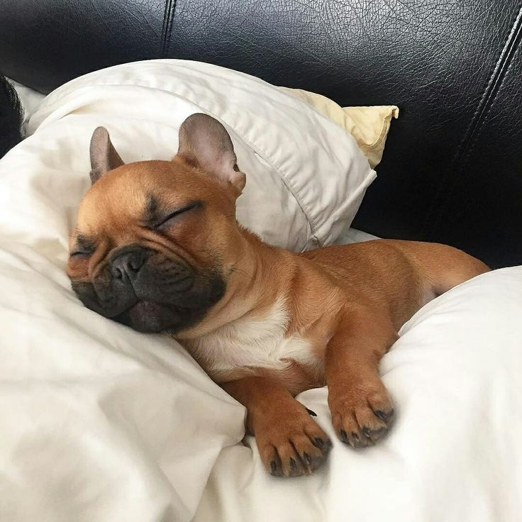 """It's Sunday... and this pillow is so... zzzzzzzzz"", Cooper, the sleepy French Bulldog Puppy, @coopiethefrenchie"