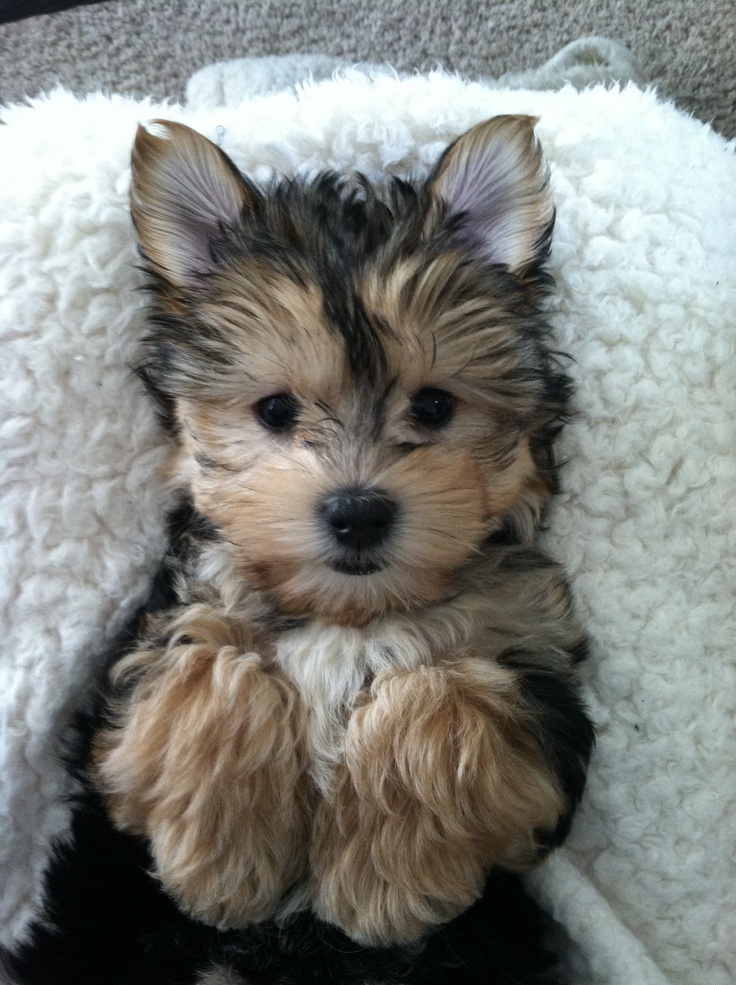 1000+ images about Morkie Love on Pinterest | Morkie ...