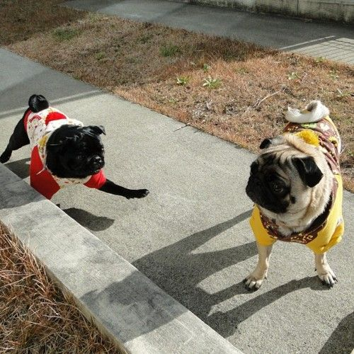 Pugs dressed up for play time.