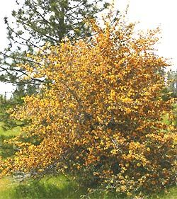 California Flannel Bush (Fremontodendron californicum)    Would like to try one of the smaller versions of this (Dara's Gold?)