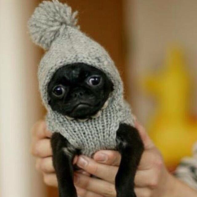 Knitting Pattern For Pug Hat : 161 best Pugs In Hats images on Pinterest Animals, Pug love and Pug puppies