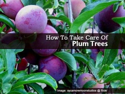 How To Take Care Of Plum Trees
