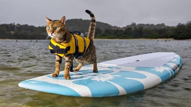 Calypso+the+Bengal+Cat+Loves+to+Cruise+On+Her+Paddleboard!