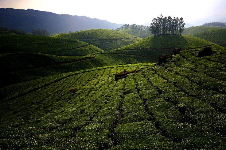 teaplantation02 Зеленые ковры чайных плантаций в Индии