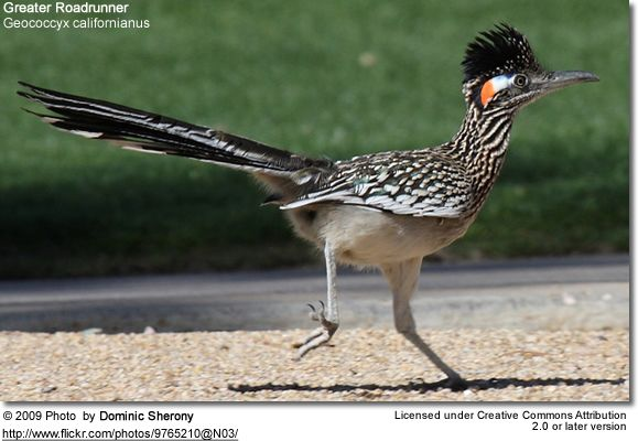 Greater Roadrunners (Geococcyx californianus)  Roadrunners     The Greater Roadrunner (Geococcyx californianus) is a large, long-legged bird in the cuckoo family, Cuculidae. This roadru
