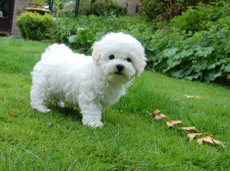 485 best Fluffy small white dogs images on Pinterest