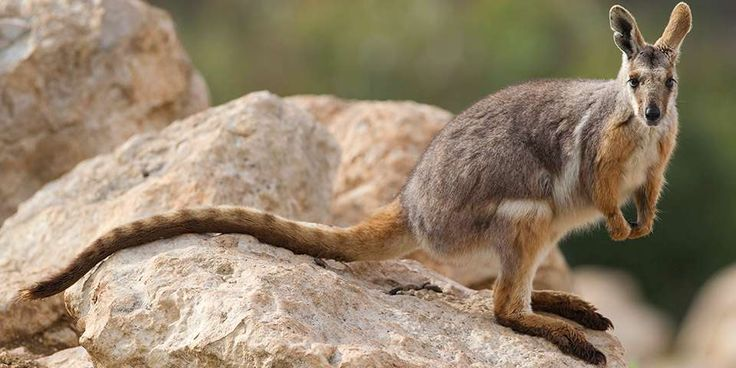 Yellow-footed Rock-wallaby Facts & Information - Monarto Zoo