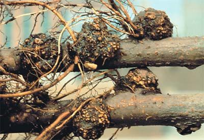 tumor (syn. gall): abnormal swelling or localized outgrowth, often roughly spherical, produced by a plant as a result of attack by a fungus, bacterium, nematode, insect or other organism (crown gall caused by Agrobacterium tumefaciens on apple)