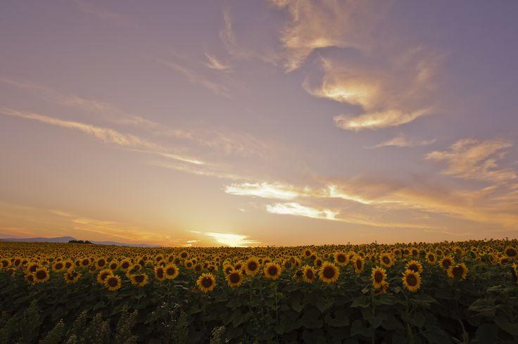 Sunset and Sunflower fields by Teruo Araya on 500px