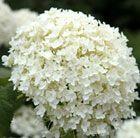 Huge globes of tiny white flowerheads
