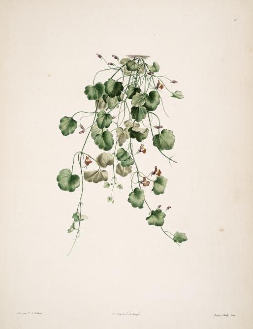 Cymbalaria muralis | La botanique de J.J. Rousseau : - Biodiversity Heritage Library