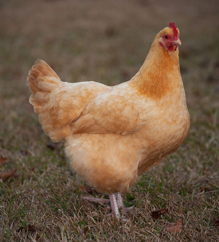 Beautiful and friendly, Buff Orpingtons are a great choice! Buff Orpington Chicks for Sale