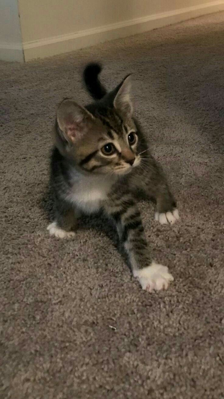 Pin By Abizzo Ab On Gatti Kittens Cutest Cute Baby Animals Cute Cats And Kittens